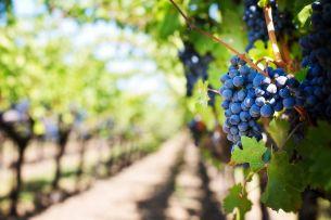 Вам интересно, какое получается вино с пражских виноградников? Придите на вино на Гребовку и вкусите